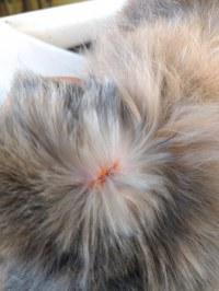 maladie de peau du chat croute